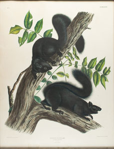 Audubon Imperial Quadruped